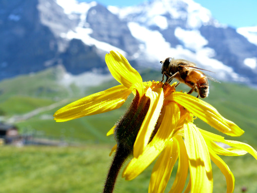 A bee on a mountain flower - MyVideoimage.com