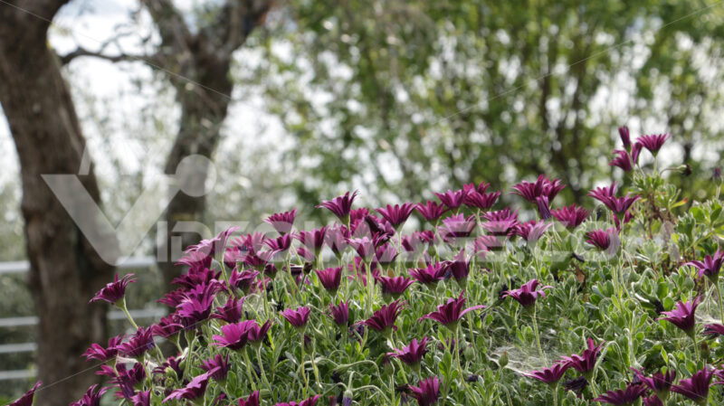 A bush of  African daisy (Dimorphoteca pluvialis). - MyVideoimage.com | Foto stock & Video footage