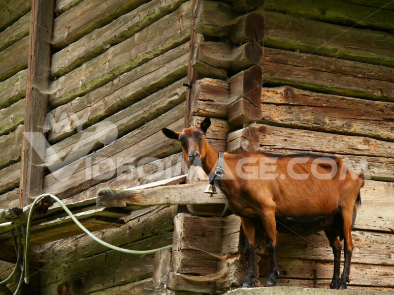 A goat against the background of a wooden wall. Capra. Foto animali. Animal photos
