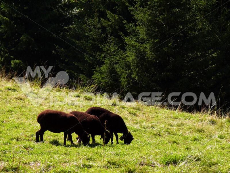 A group of three black grazing sheep - MyVideoimage.com