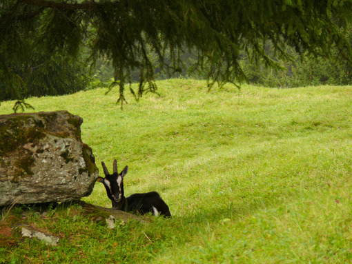 A nice goat in the green meadow. Capra. Foto animali. Animal photos