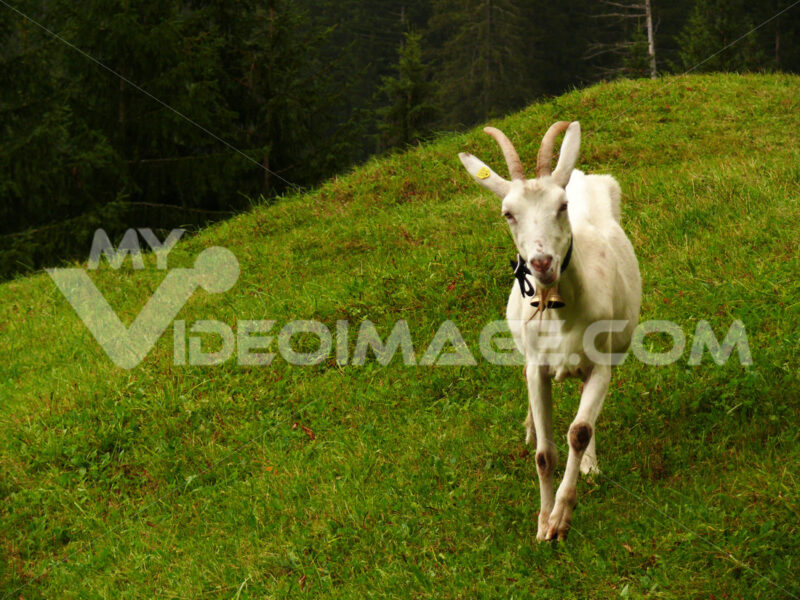A nice goat in the green meadow. Foto animali. Animal photos. Capra