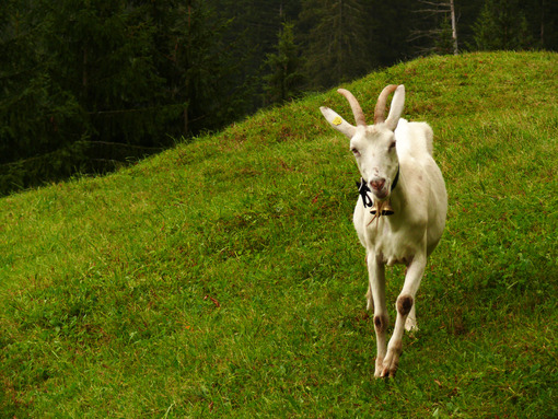 A nice goat in the green meadow. Foto animali. Animal photos. Capra
