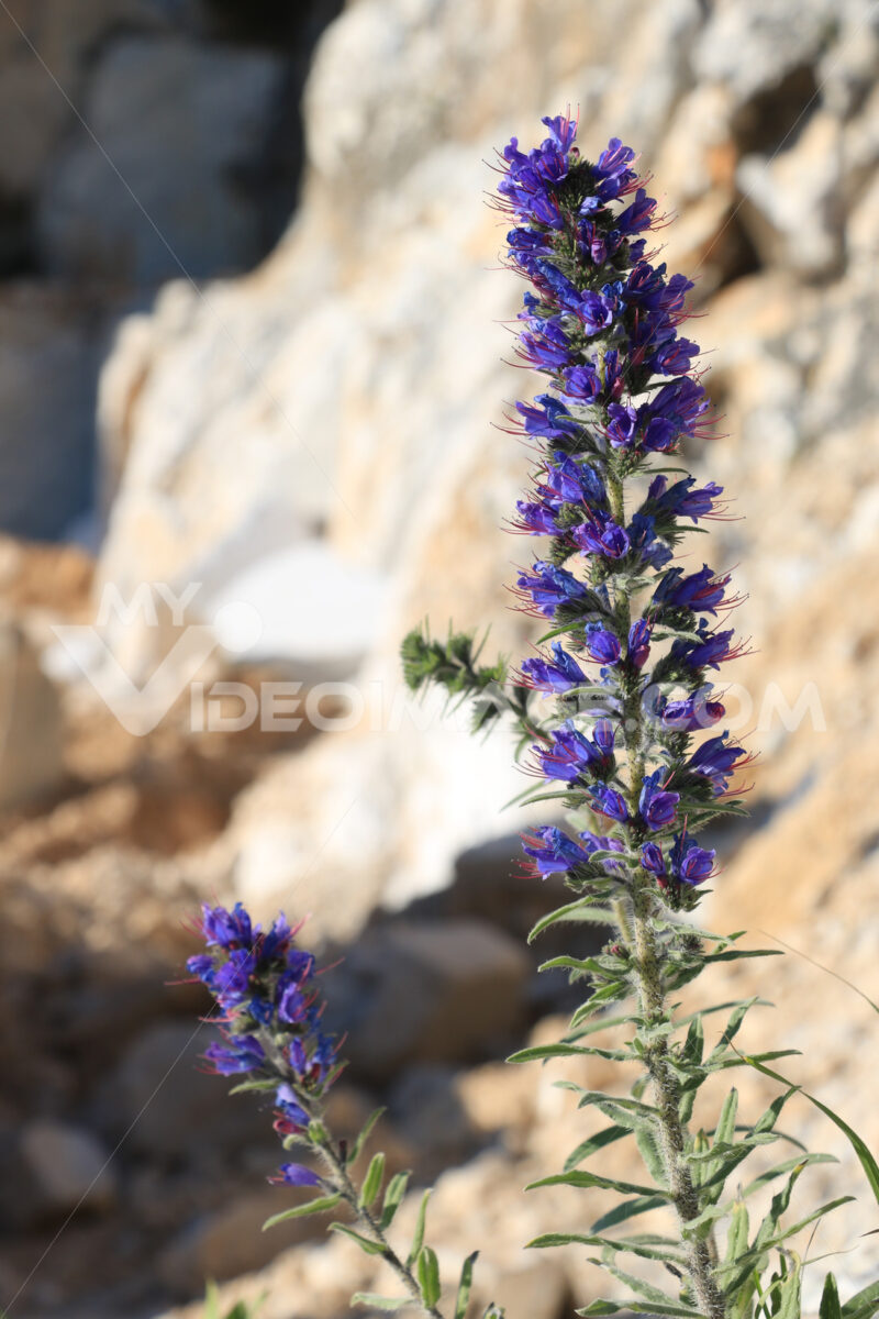 A spontaneous blue flower grows in the Carrara marble quarries. - MyVideoimage.com