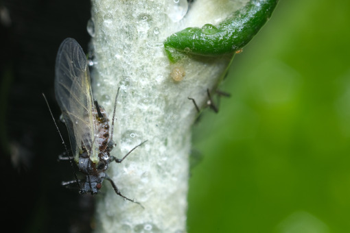 Afide ali. Parasites on the stem of a Mediterranean plant leaf. Foto stock royalty free. - MyVideoimage.com | Foto stock & Video footage