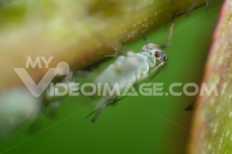 Afide su una pianta. Aphids suck the sap from the petiole of a leaft. Foto stock royalty free. - MyVideoimage.com | Foto stock & Video footage