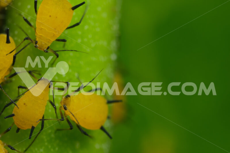 Afidi gialli delle piante. Yellow aphids suck the sap from a leaf. Foto stock royalty free. - MyVideoimage.com | Foto stock & Video footage