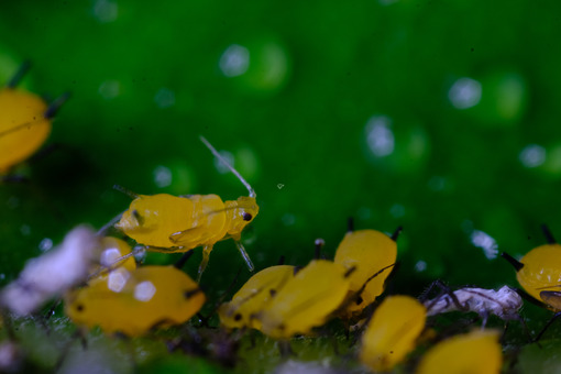 Afidi gialli. Yellow aphids on a leaf suck the sap of the plant. Foto stock royalty free. - MyVideoimage.com   Foto stock & Video footage