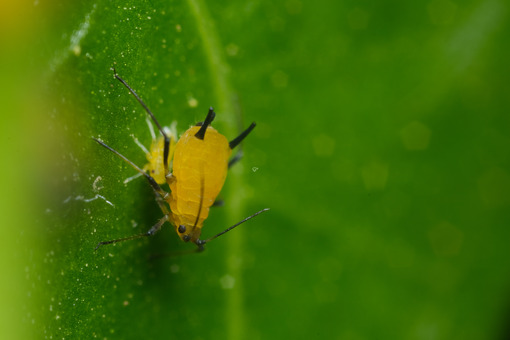 Afidi su foglia Yellow aphids suck the sap from a leaf. Foto stock royalty free. - MyVideoimage.com | Foto stock & Video footage
