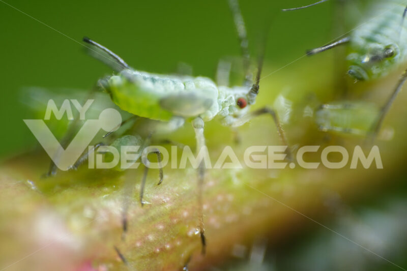 Afidi su una pianta. Aphids suck the sap from the petiole of a leaft. Foto stock royalty free. - MyVideoimage.com | Foto stock & Video footage