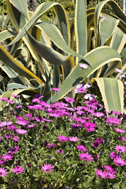 African daisy and agave. - MyVideoimage.com