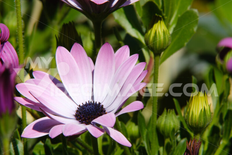 African pink daisy (Dimorphotheca pluvialis) in a Mediterranean garden. Photos flowers. Foto e immagini di fiori. - LEphotoart.com