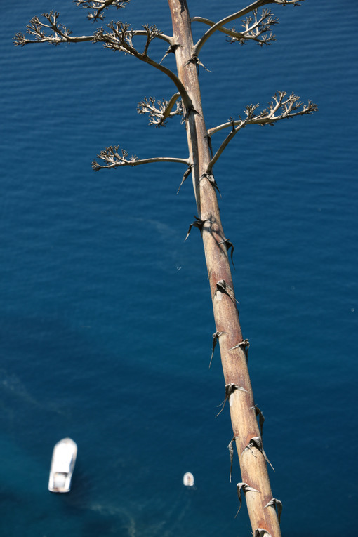 Agave flower on a path of the Cinque Terre. In the background boats in the blue sea. - MyVideoimage.com
