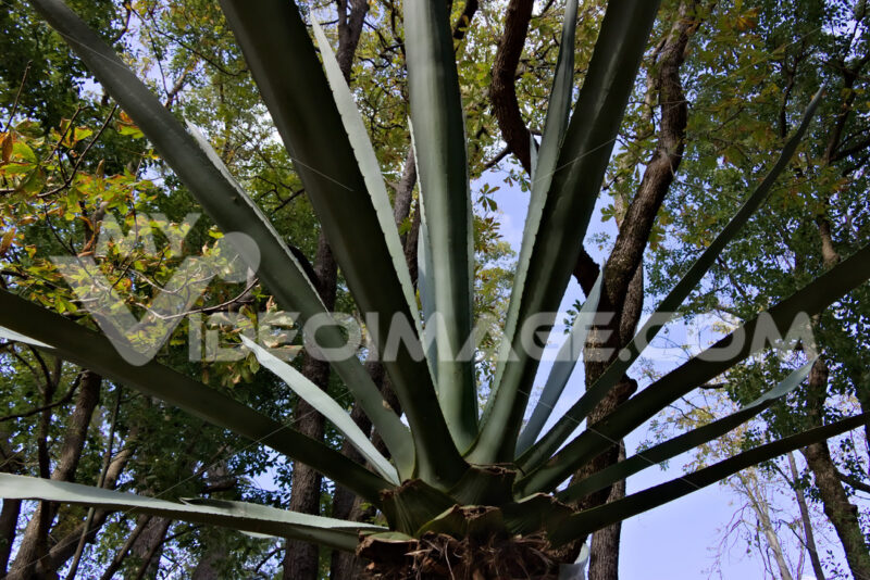 Agave in the park. Reggia di Caserta, Italy. 10/27/2018. Agave plant inside the park. - MyVideoimage.com | Foto stock & Video footage