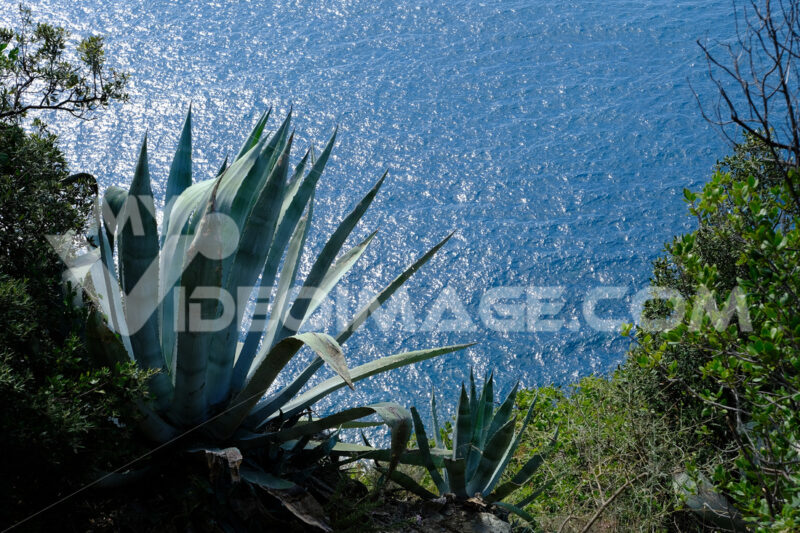 Agave plant on the hills of the Cinque Terre. In the background the Mediterranean sea in Liguria. - MyVideimage.com
