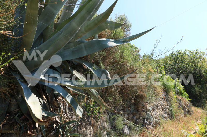 Agave plant with dry stone walls on the island of Ischia. - MyVideoimage.com