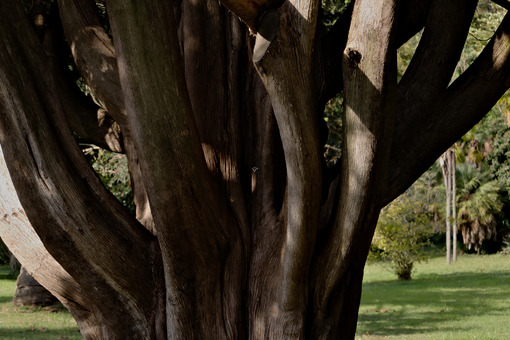 Albero monumentale. Reggia di Caserta, Italy. 10/27/2018. Monumental tree within the park. Detail of the trunk - MyVideoimage.com | Foto stock & Video footage