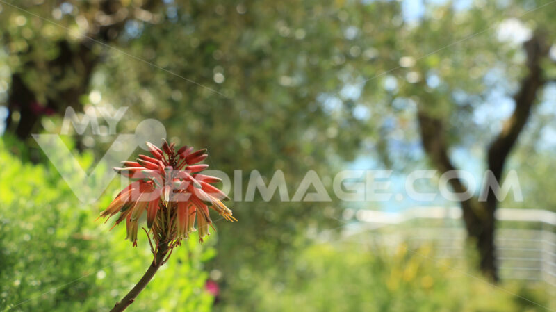Aloe vera flower in a Mediterranean garden in Liguria. In the background olive trees. Margherita africana rosa (Dimorphotheca pluvialis) in un giardino mediterraneo. Macro fotografia di un bellissimo fiore con petali di rosa. Photos flowers. - MyVideoimage.com | Foto stock & Video footage