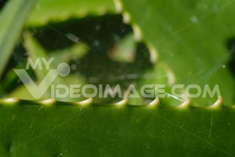 Aloe vera leaves used as natural medicines. Macro. - MyVideoimage.com