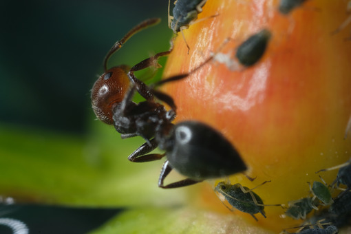 Ant and aphids. Ants and colony of aphids on a small berry of a plant. Stock photos. - MyVideoimage.com | Foto stock & Video footage