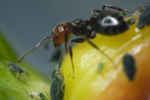 Ant on berry. Ants and colony of aphids on a small berry of a plant. Stock photos. - MyVideoimage.com   Foto stock & Video footage