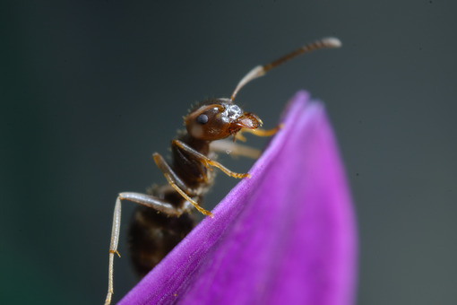 Ant on flower. Ant on a purple red flower petal. Stock photos. - MyVideoimage.com   Foto stock & Video footage