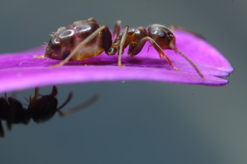 Ant on flower. Ants on a purple red flower petal. Stock photos. - MyVideoimage.com   Foto stock & Video footage