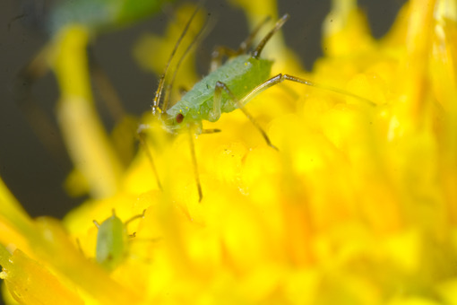 Aphid closeup. Green aphid on a yellow flower. Stock photos. - MyVideoimage.com   Foto stock & Video footage