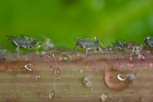 Aphid on a plant. Aphids suck the sap from the petiole of a leaft. Stock photos. - MyVideoimage.com | Foto stock & Video footage