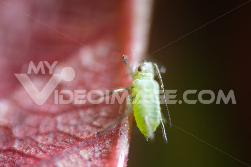 Aphid on a rose. Aphid suck the sap from a leaf. Stock photos. - MyVideoimage.com | Foto stock & Video footage
