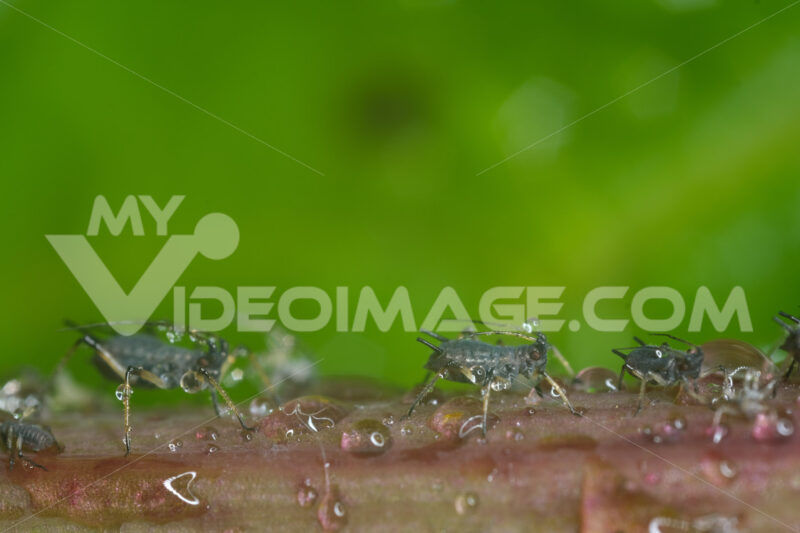 Aphid suck. Aphids suck the sap from the petiole of a leaft. Stock photos. - MyVideoimage.com | Foto stock & Video footage