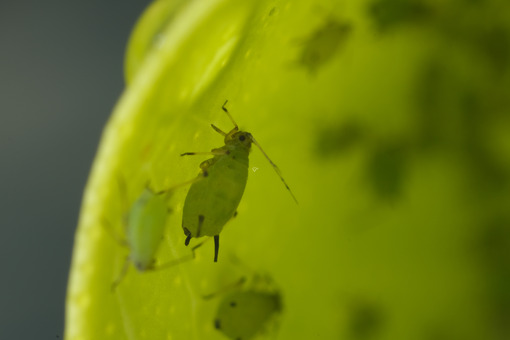 Aphids closeup. Green aphids suck the sap from a leaf. Stock photos. - MyVideoimage.com | Foto stock & Video footage