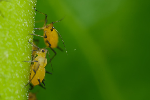 Aphids on a leaf. Yellow aphids suck the sap from a leaf. Stock photos. - MyVideoimage.com | Foto stock & Video footage