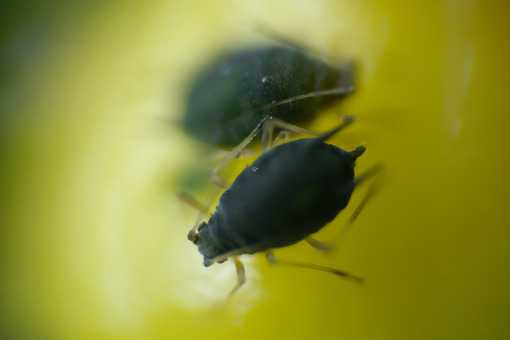 Aphids on yellow berry. Aphids on a small berry of a plant. Stock photos. - MyVideoimage.com | Foto stock & Video footage