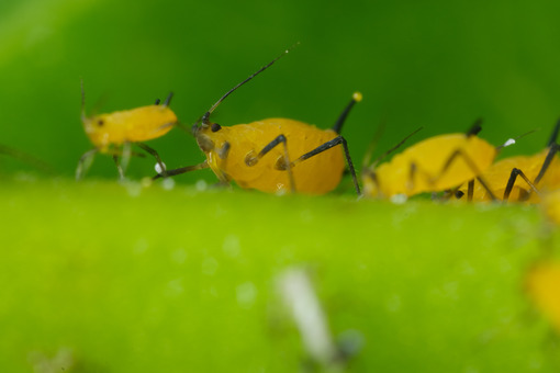 Aphids. Yellow aphids suck the sap from a leaf. Stock photos. - MyVideoimage.com | Foto stock & Video footage