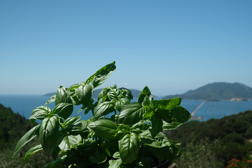 Basil leaves. Ligurian basil plant with the background of the sea. Stock photos. - MyVideoimage.com | Foto stock & Video footage