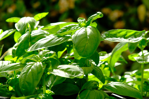 Basil plant. Basil plant with leaves blowing in the wind. Stock photos. - MyVideoimage.com | Foto stock & Video footage