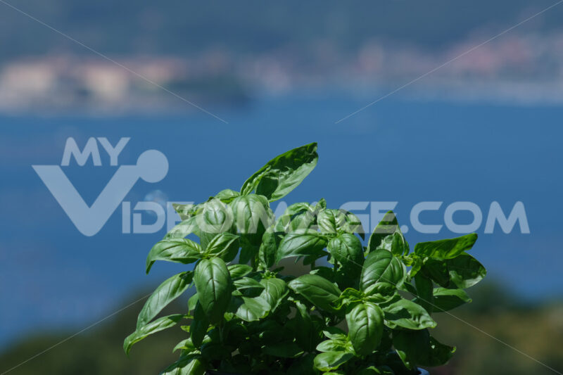 Basil plant. Ligurian basil plant with the background of the sea. Stock photos. - MyVideoimage.com | Foto stock & Video footage