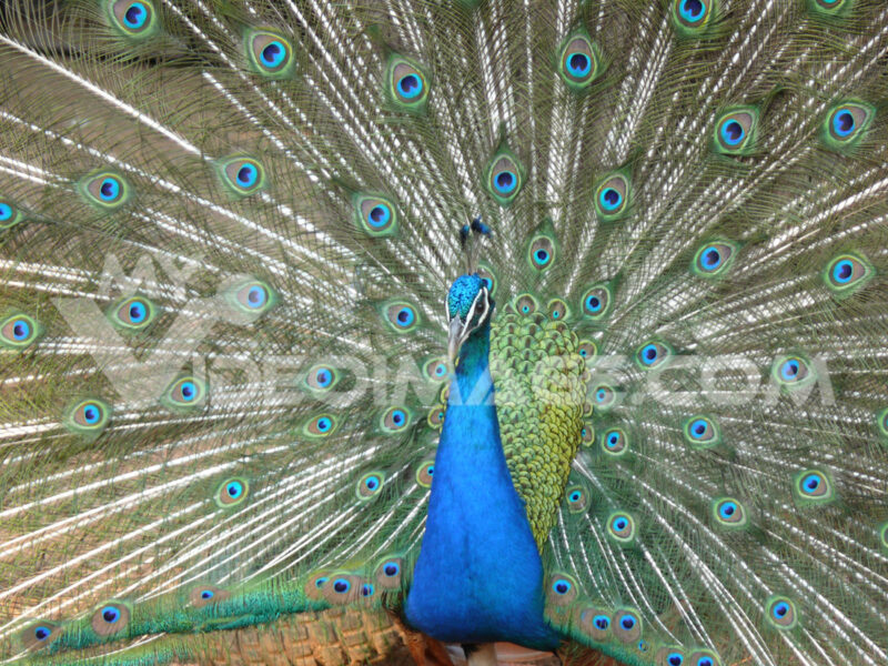 Beautiful blue peacock with green and blue colored feathers. - MyVideoimage.com