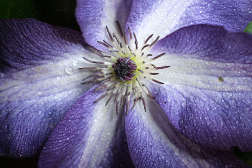 Beautiful flower. Macro close-up of beautiful blue and white clematis flower. Stock photos. - MyVideoimage.com | Foto stock & Video footage