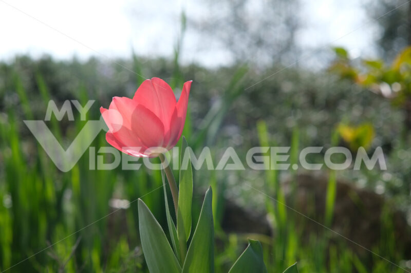 Beautiful red tulip in spring bloom. Macro of a plant. - MyVideoimage.com