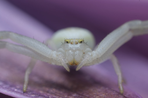 Beautiful spider. Beautiful white spider on a purple flower. Stock photos. - MyVideoimage.com | Foto stock & Video footage
