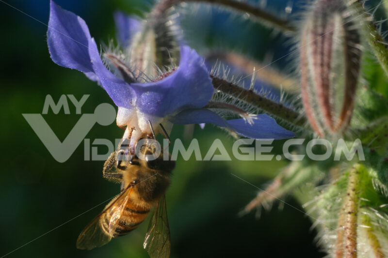 Bee sucks nectar from a blue flower. A beautiful blue mallow flower attracts bees. - MyVideoimage.com