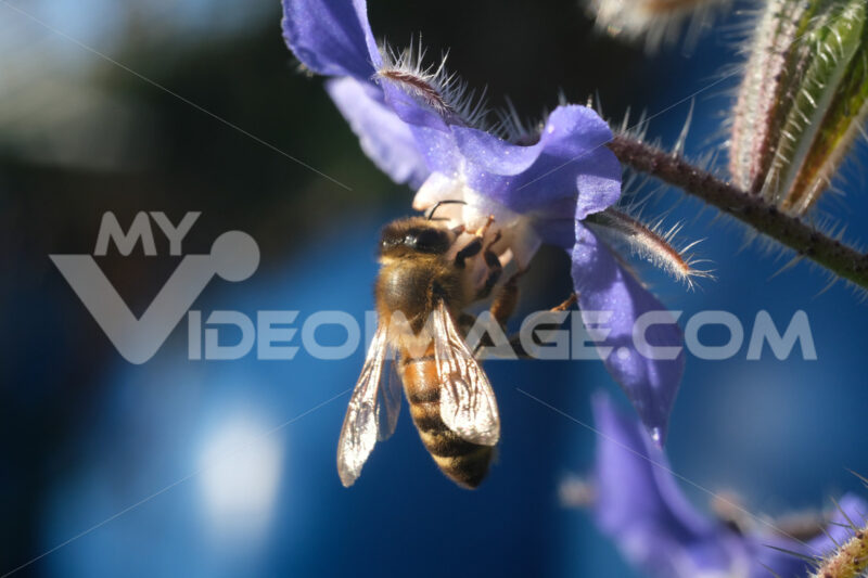 Bee sucks nectar from a blue flower. A beautiful blue mallow flower attracts bees. L'ape succhia il nettare e raccoglie il polline da un fiore di timo. Macro video di fiori di timo con un'ape. Pianta aromatica. Photos flowers. - MyVideoimage.com | Foto stock & Video footage