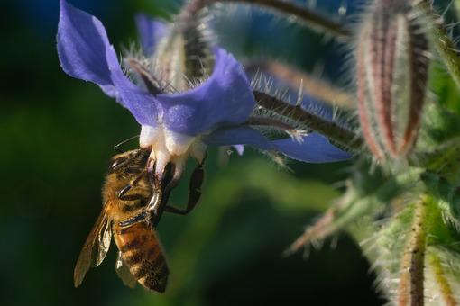 Bee sucks nectar from a blue flower. A beautiful blue mallow flower attracts bees. L'ape succhia il nettare e raccoglie il polline di fiori blu. Un bel fiore di malva blu attira le api.  Photos flowers. - MyVideoimage.com