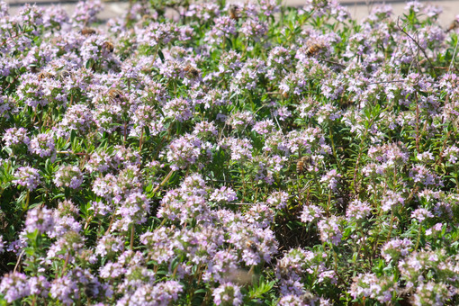 Bees suck the nectar of thyme bloom. Many bees on a bush with spring bloom. - MyVideoimage.com