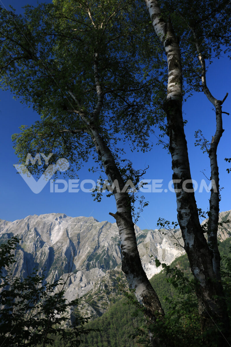 Betulle di montagna. Birch trees in the Apuan Alps in Versilia. In the background the - MyVideoimage.com | Foto stock & Video footage