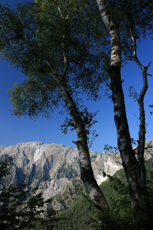 Betulle di montagna. Birch trees in the Apuan Alps in Versilia. In the background the - MyVideoimage.com   Foto stock & Video footage