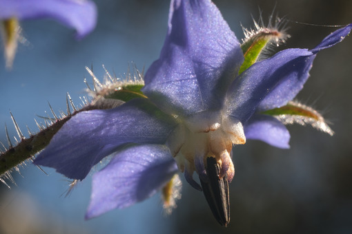 Blue borage flower in spring. Macro photography of borage. Foto e immagini di fiori. - LEphotoart.com