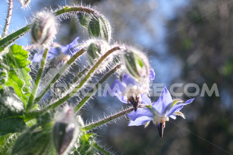 Blue buds and flowers of borage in spring. Edible plant.  Macro photography of borage. Immagini fiori - LEphotoart.com